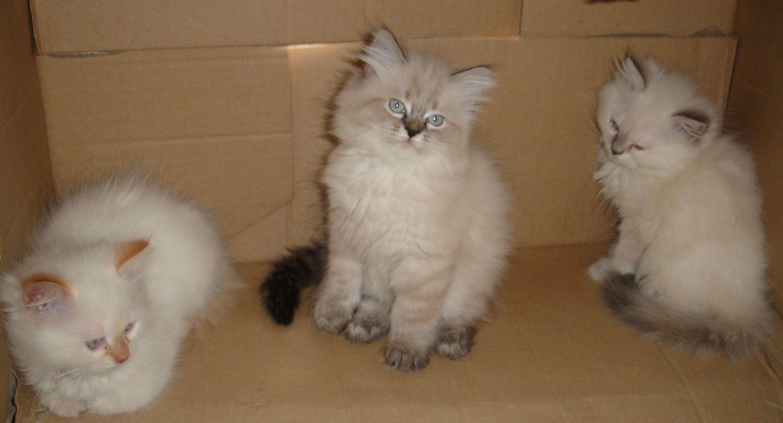 Невская маскарадная кошка это